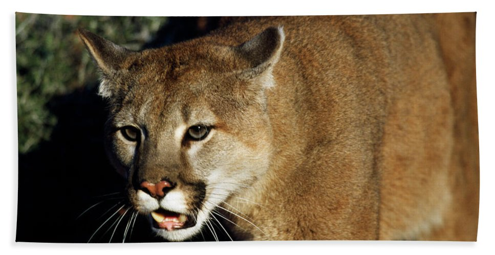 Photography Bath Towel featuring the photograph Cougar Animal by Animal Images