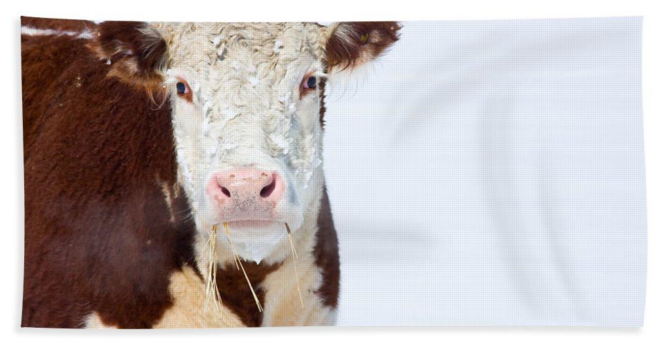 Cow Hand Towel featuring the photograph Cow - Fine Art Photography Print by James BO Insogna