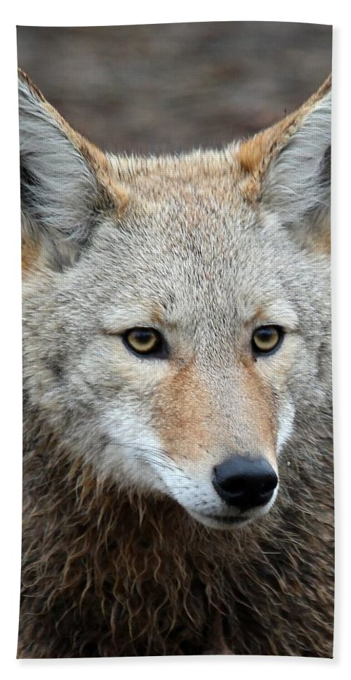 Coyotes Hand Towel featuring the photograph Coyote by Athena Mckinzie