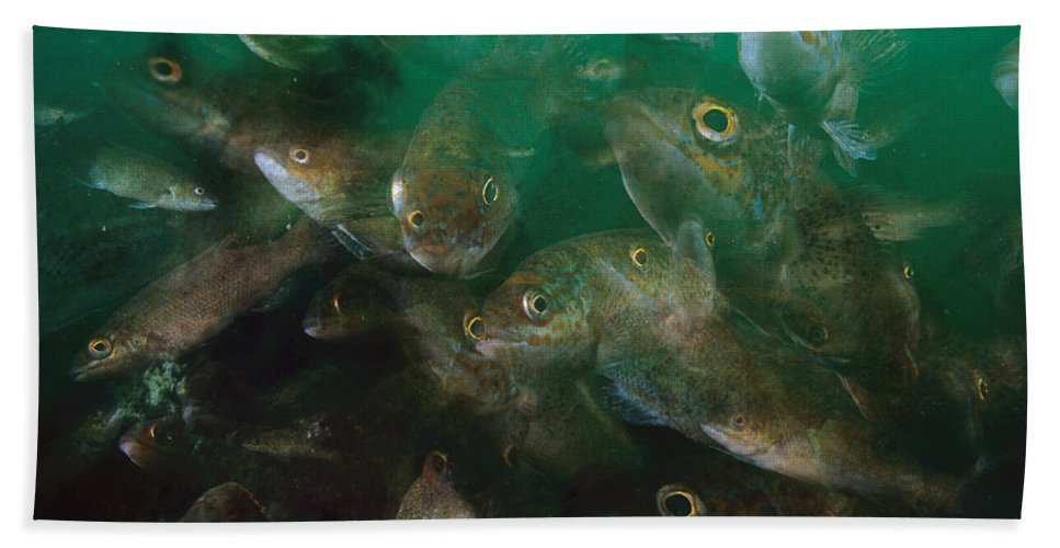 00301059 Hand Towel featuring the photograph Cunner Fish Nova Scotia by Scott Leslie