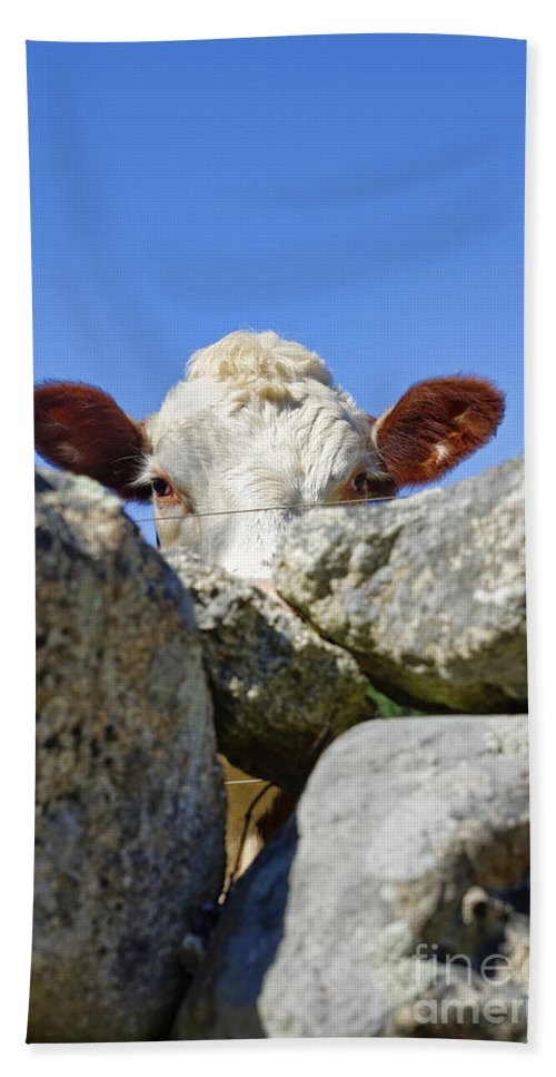 Martha's Vineyard Bath Sheet featuring the photograph Curious Cow by John Greim