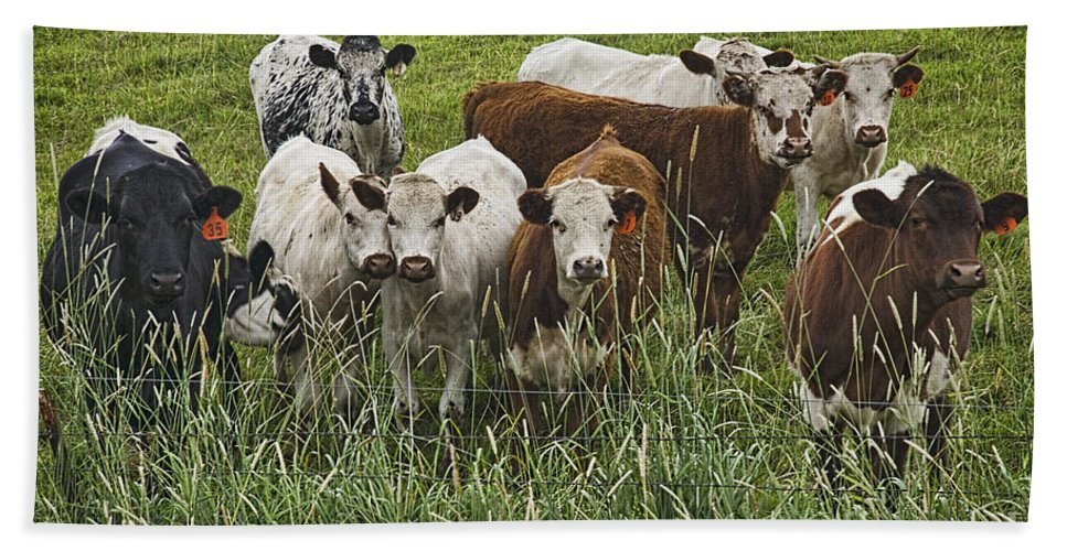 Cow Hand Towel featuring the photograph Curious Cows by Priscilla Burgers