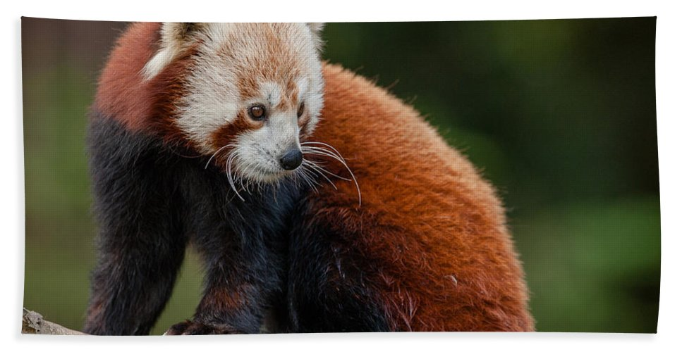 Red Panda Hand Towel featuring the photograph Curious Critter by Greg Nyquist