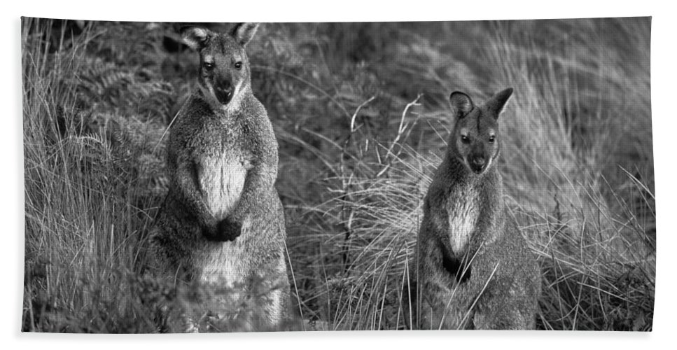 Curious Wallabies Hand Towel featuring the photograph Curious Wallabies by Sean Davey