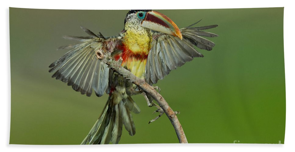 Animal Hand Towel featuring the photograph Curl-crested Aracari About To Perch by Anthony Mercieca