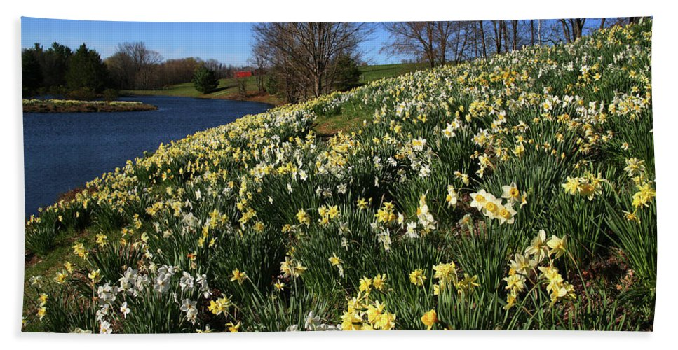 Daffodil Bath Sheet featuring the photograph Daffodil Hill by Karol Livote