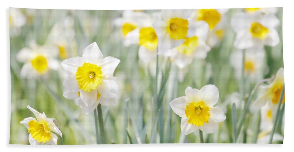 Plants Hand Towel featuring the photograph Daffodils by Steve Ball