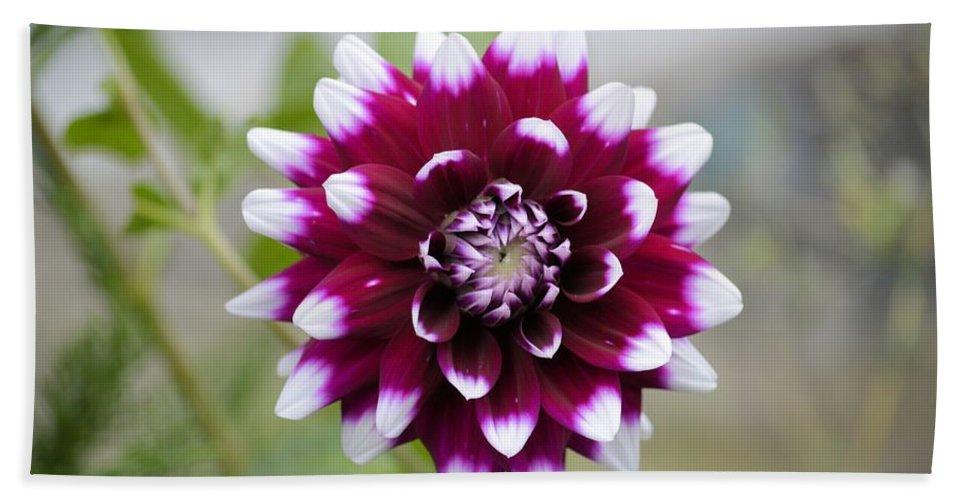 Dahlia Bath Sheet featuring the photograph Dahlia Flower by Bonfire Photography