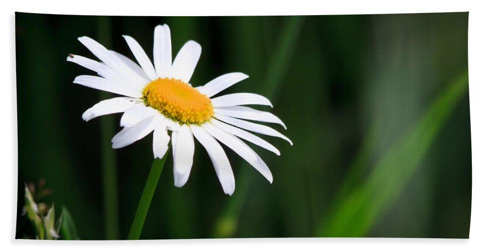 Flower Bath Sheet featuring the photograph Daisy - Bellis Perennis by Bob Orsillo