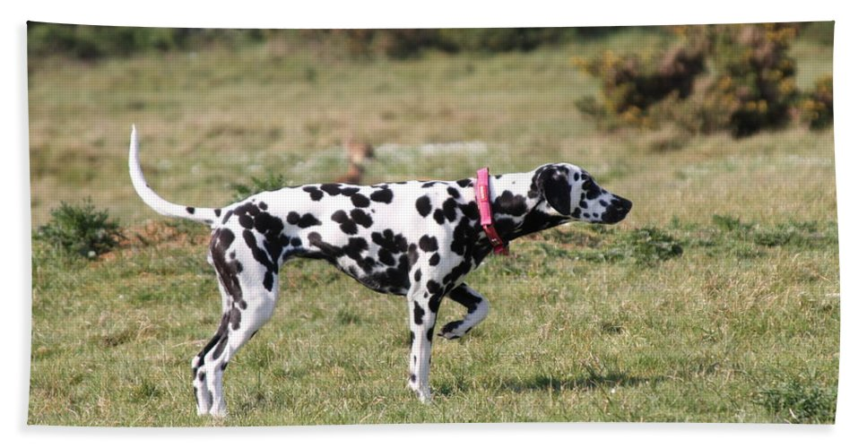 Dalmatian Pretending To Be A Pointer Bath Towel featuring the photograph Dalmation Pretending To Be A Pointer by Gordon Auld