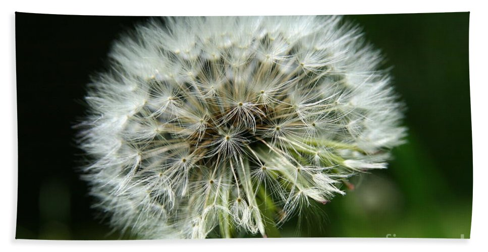 Seed Bath Sheet featuring the photograph Dandelion Ready by Neal Eslinger