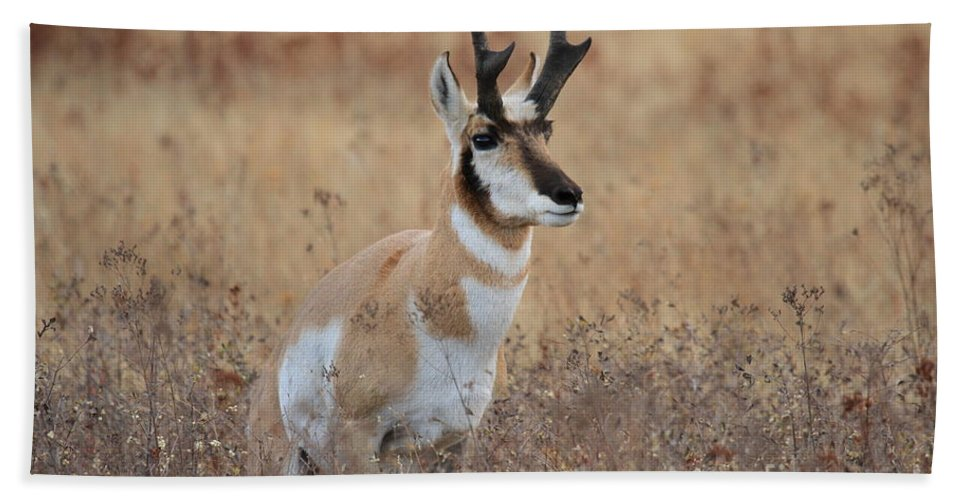 Pronghorn Hand Towel featuring the photograph Danger by Adam Jewell