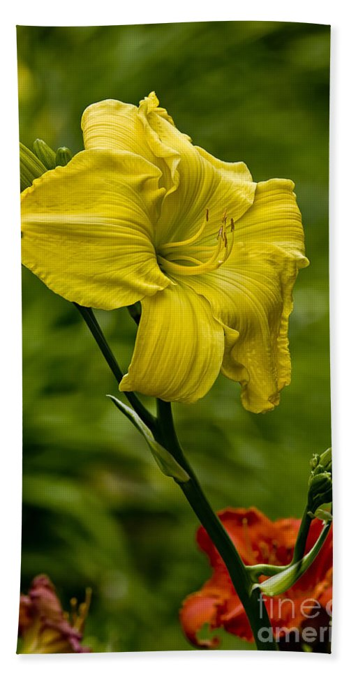 Daylily Hand Towel featuring the photograph Daylily Picture 469 by World Wildlife Photography