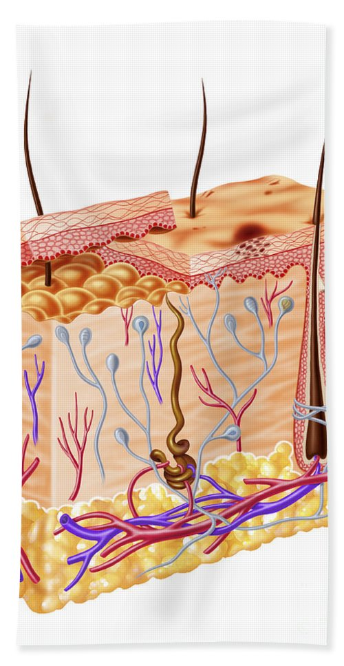 Anatomy Bath Sheet featuring the photograph Diagram Showing Anatomy Of Human Skin by Leonello Calvetti