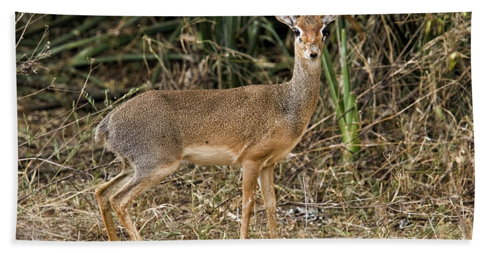 Africa Hand Towel featuring the photograph Dik-dik by Timothy Hacker