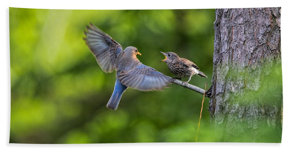 Eastern Bluebird Hand Towel featuring the Dinner Time by David Kay