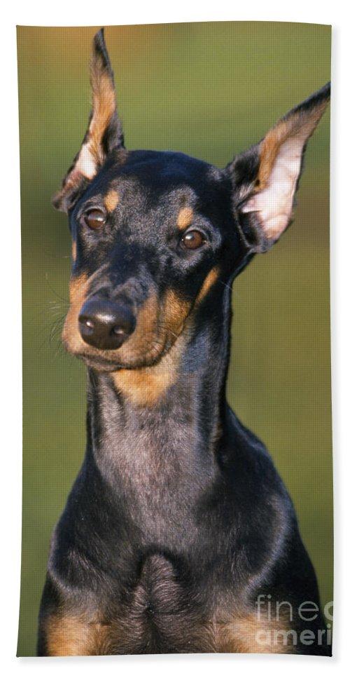 Doberman Bath Sheet featuring the photograph Doberman Pinscher Dog by Johan De Meester