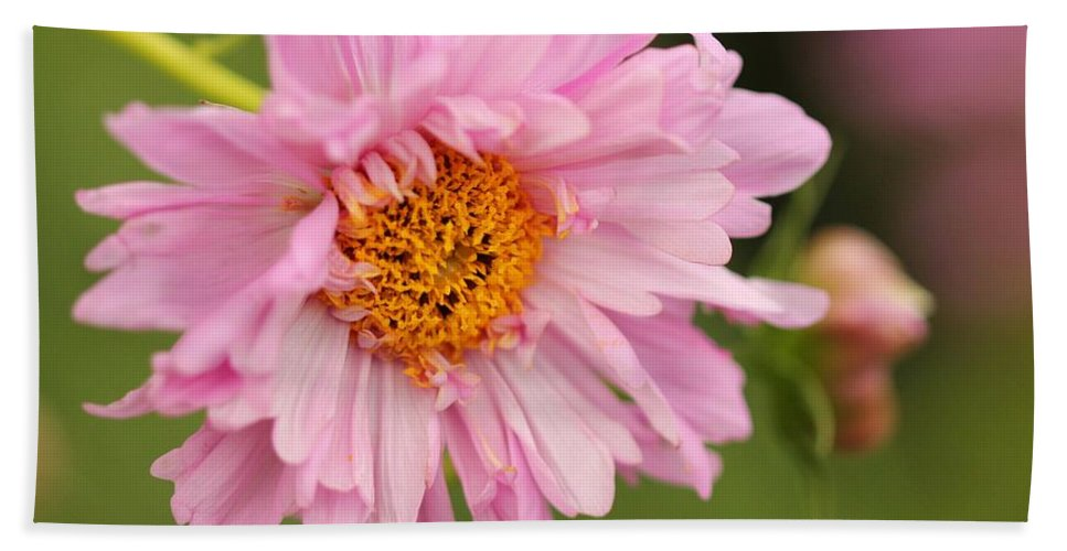 Mccombie Hand Towel featuring the photograph Double Click Cosmos Named Rose Bonbon by J McCombie