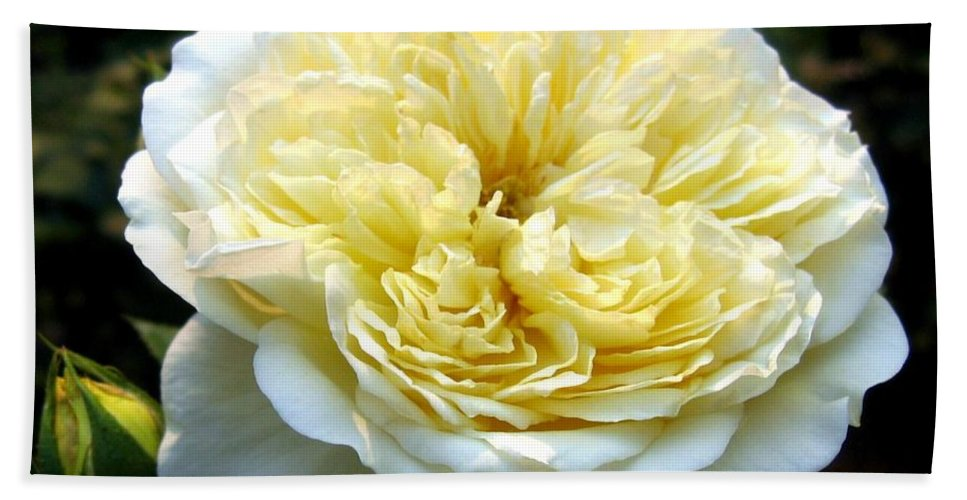 Double Cream Rose Bath Sheet featuring the photograph Double Cream Rose by Will Borden