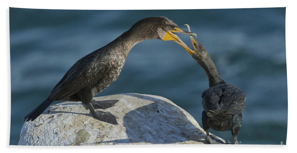 Double-crested Cormorant Hand Towel featuring the photograph Double-crested Cormorants by Anthony Mercieca