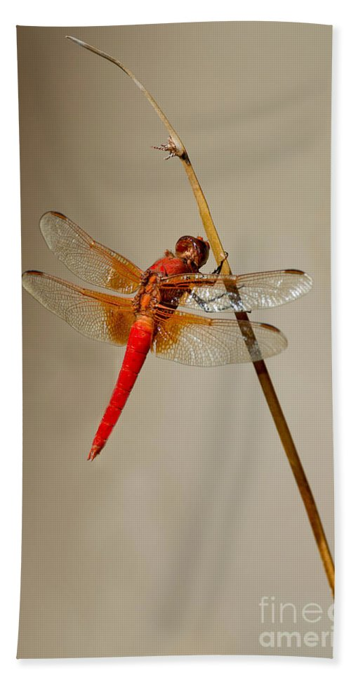 Animal Hand Towel featuring the photograph Dragonfly On Dead Reed by Anthony Mercieca