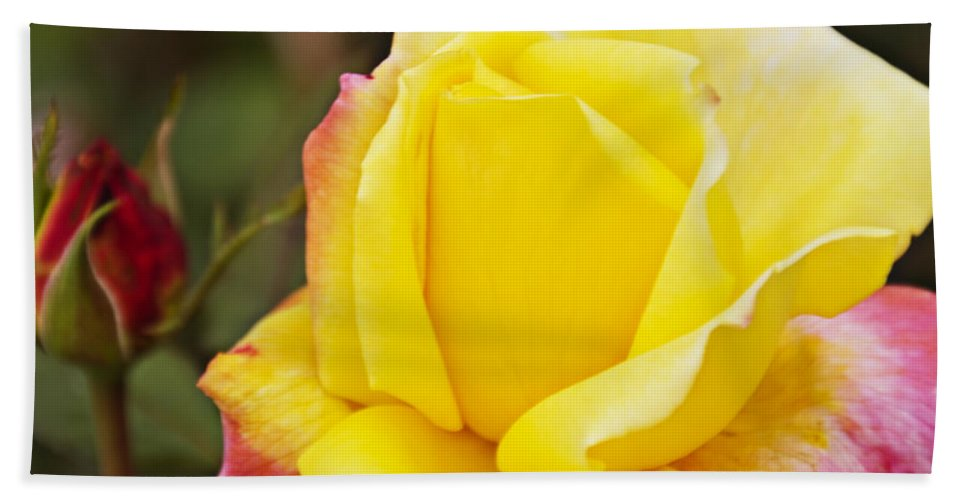 Yellow Rose Hand Towel featuring the photograph Dream's Come True Rose By Walter Herrit by Walter Herrit