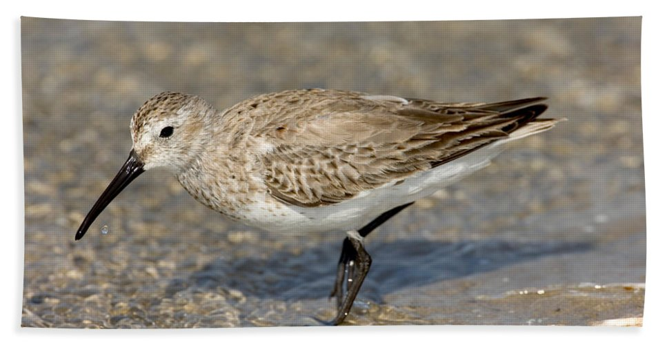 Animal Hand Towel featuring the photograph Dunlin Calidris Alpina In Winter Plumage by Anthony Mercieca