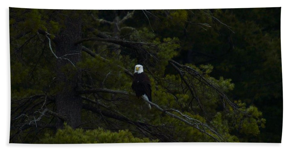 Bald Eagle Hand Towel featuring the photograph Eagle In White Pine by Thomas Phillips
