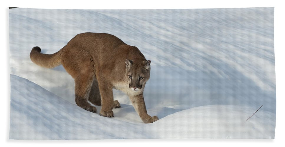 Cougar Hand Towel featuring the photograph Early Morning Survey by Sandra Bronstein