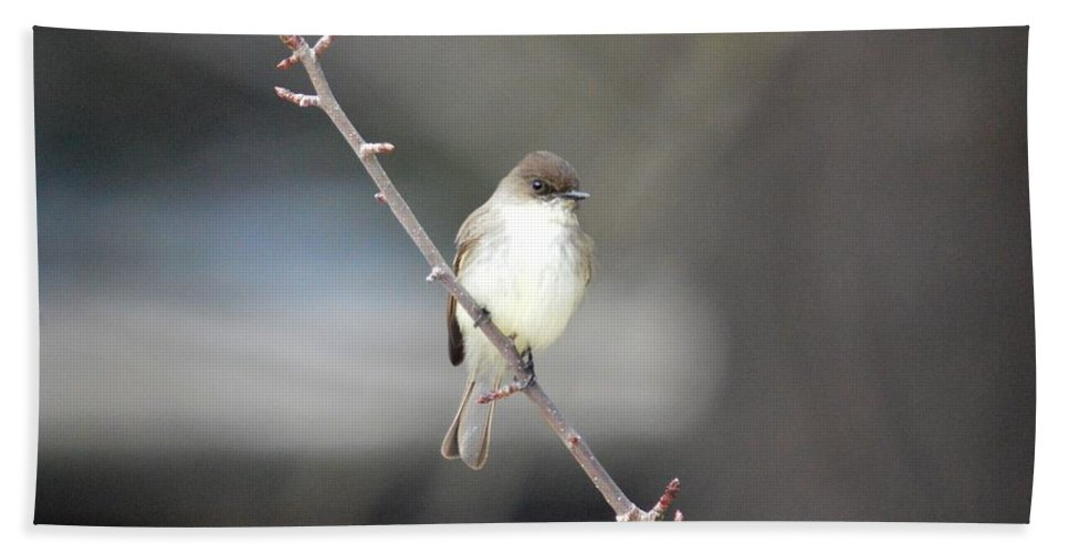 Eastern Phoebe Bath Sheet featuring the photograph Eastern Phoebe by Thomas Phillips
