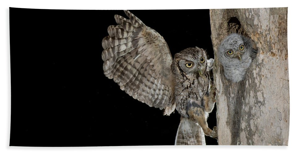 Eastern Screech Owl Hand Towel featuring the photograph Eastern Screech Owls At Nest by Anthony Mercieca