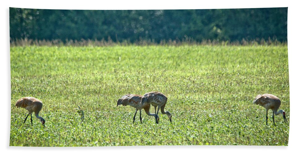 Sandhill Cranes Hand Towel featuring the photograph Eating Cranes by Cheryl Baxter