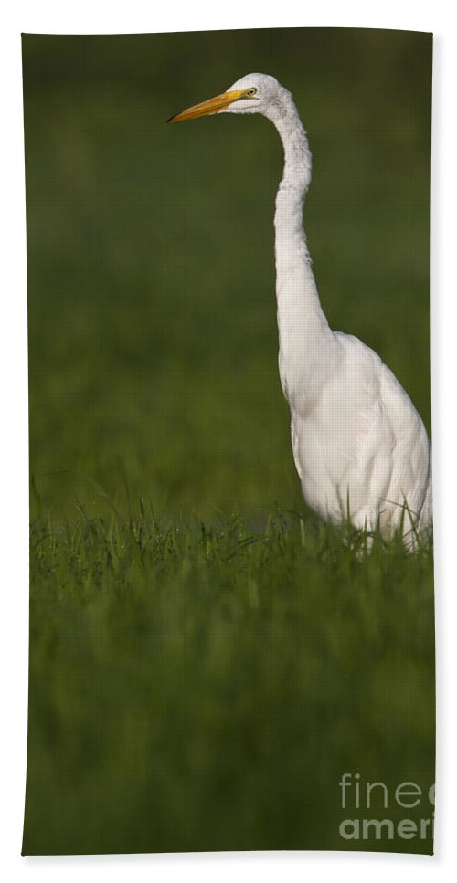 Egret Hand Towel featuring the photograph Egret Looking For Lunch by Bryan Keil