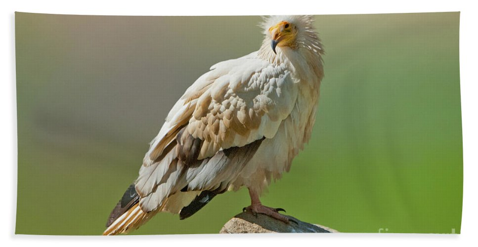 Nature Hand Towel featuring the photograph Egyptian Vulture by Anthony Mercieca