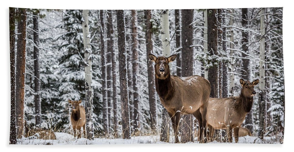 Christmas In Jasper Hand Towel featuring the photograph Elk In Jasper by Alanna DPhoto