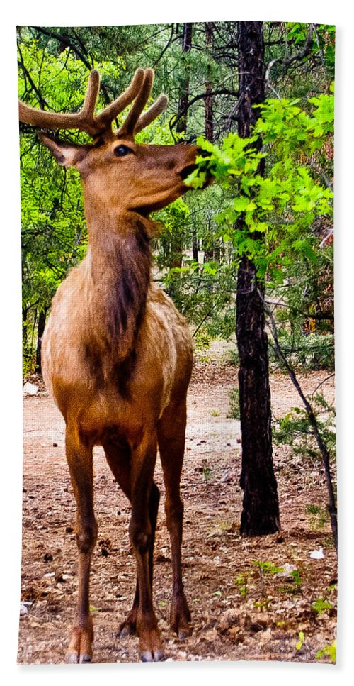 Animal Bath Sheet featuring the photograph Elk - Mather Grand Canyon by Bob and Nadine Johnston