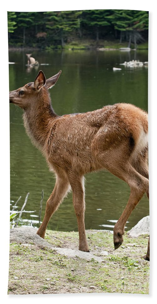 Elk Bath Sheet featuring the photograph Elk Pictures 74 by World Wildlife Photography