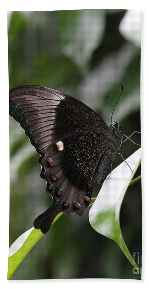 Butterfly Bath Sheet featuring the photograph Emerald Peacock Swallowtail Butterfly #6 by Judy Whitton