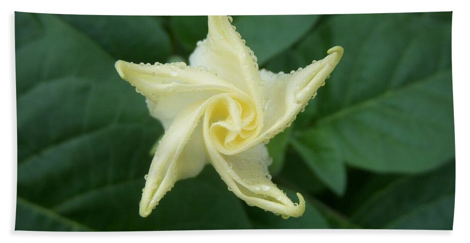 Angel's Trumpet Bath Sheet featuring the photograph Emerging Angel by Terri Waselchuk