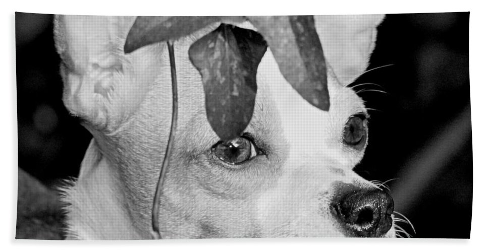 Chihuahua Hand Towel featuring the photograph Emperor Louie by Paul Wilford