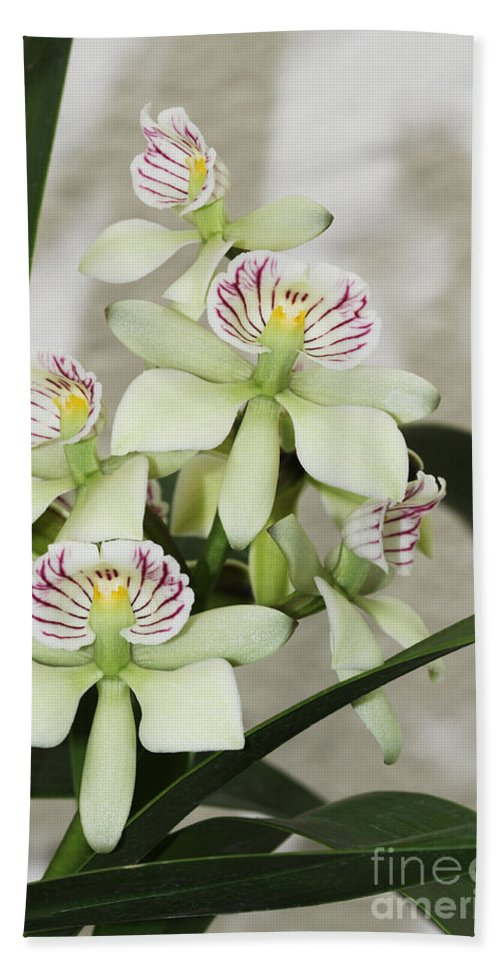 Orchid Bath Sheet featuring the photograph Encyclia Radiata by Judy Whitton