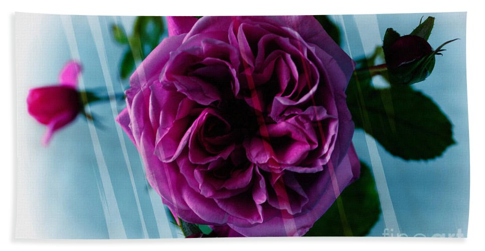 English Rose Hand Towel featuring the photograph English Rose - Purple Rose - Fragrant Rose by Barbara Griffin