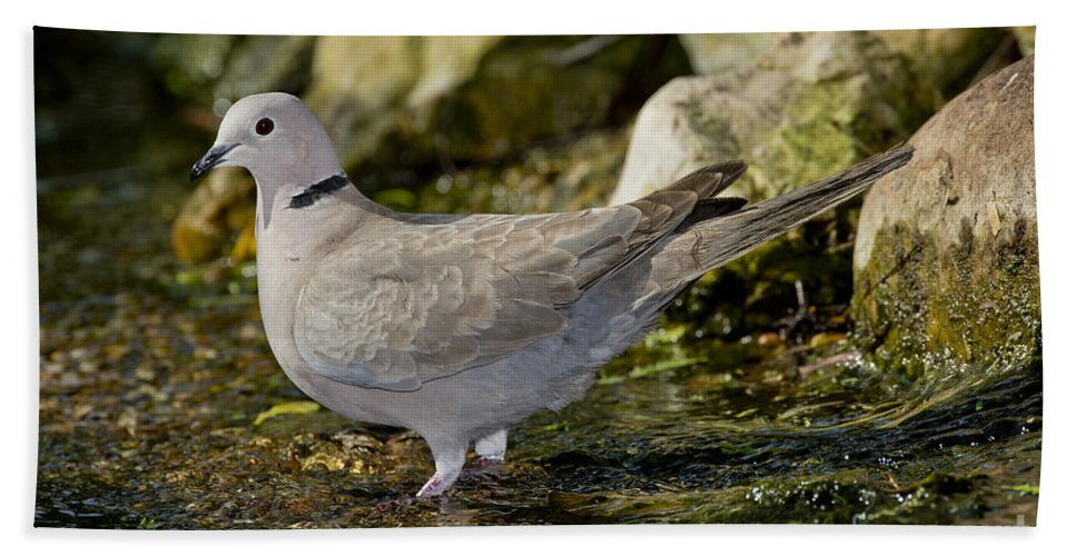 Eurasian Collared-dove Hand Towel featuring the photograph Eurasian Collared Dove by Anthony Mercieca