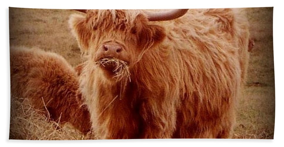 Cattle Hand Towel featuring the photograph Even Cape Breton Cattle Have Character by John Malone