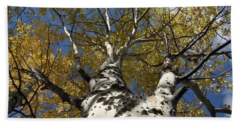 Gold Bath Towel featuring the photograph Fall Aspen by Frank Madia