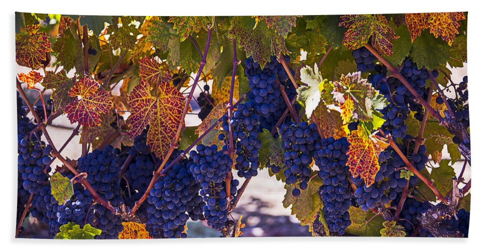 Grapes Bath Sheet featuring the photograph Fall Grape Harvest by Garry Gay