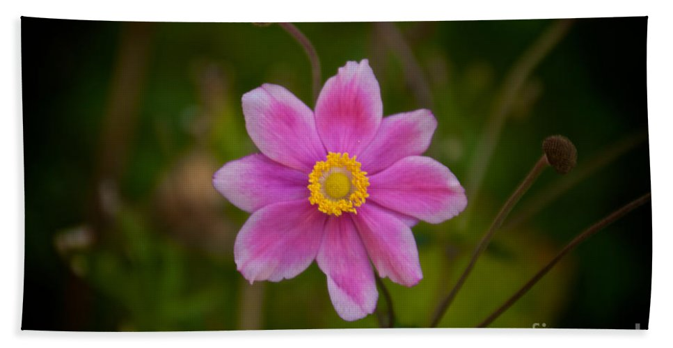 Daisy Bath Sheet featuring the photograph Fall Pink Daisy by William Norton