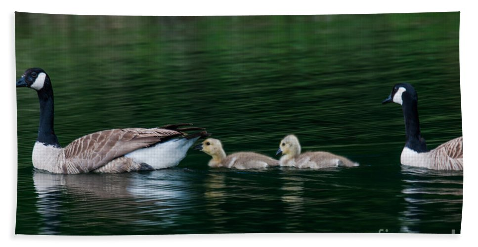 Geese Bath Sheet featuring the photograph Family Swim by Dale Powell
