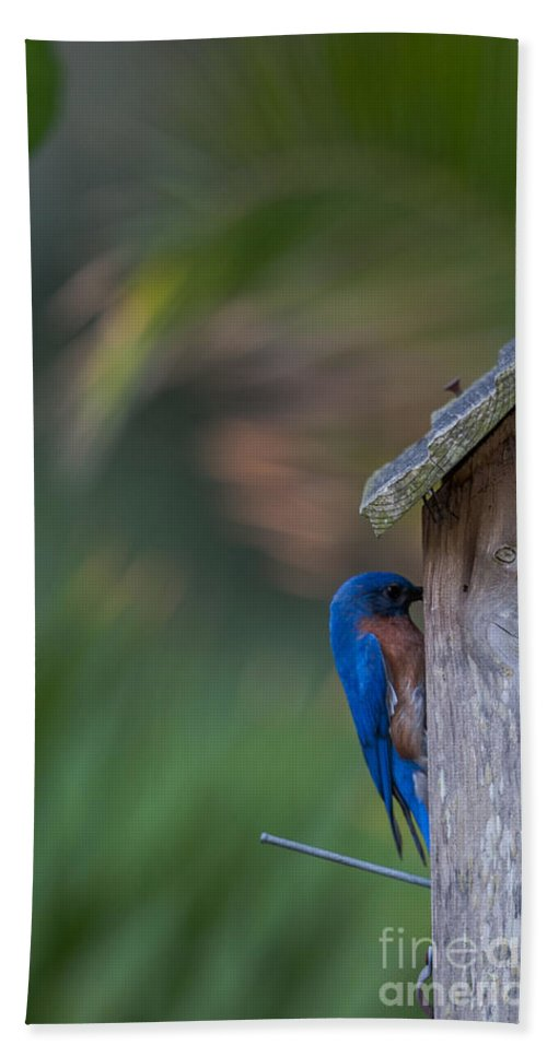 Eastern Blue Bird Bath Sheet featuring the photograph Feeding Her Babies by Dale Powell