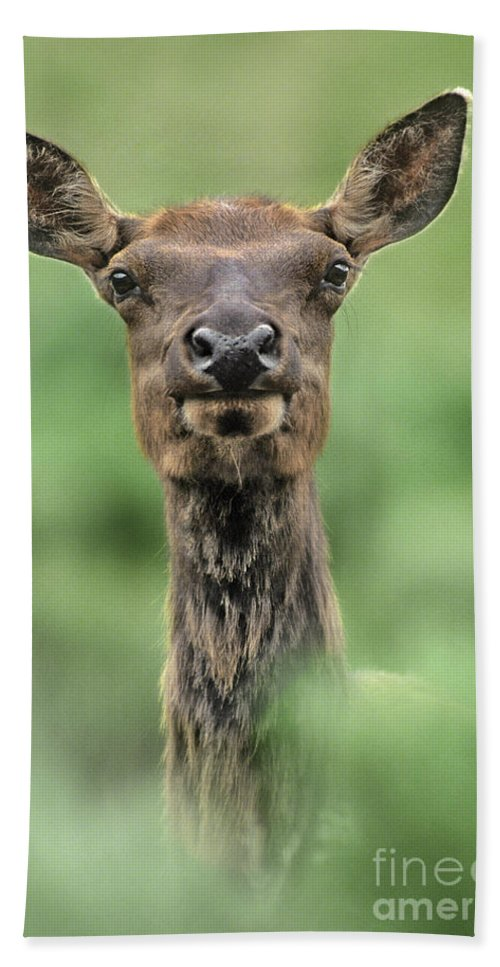 North America Hand Towel featuring the photograph Female Elk Portrait Yellowstone National Park Wyoming by Dave Welling